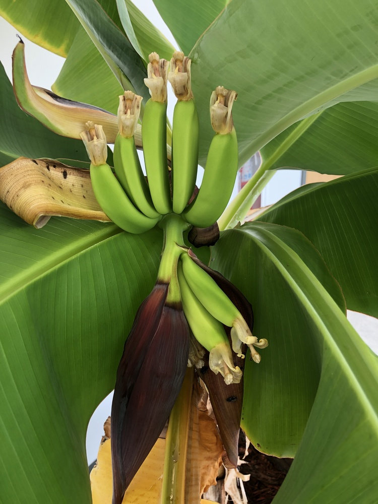 We Have Bananas Growing at the Eleva-Strum Elementary School