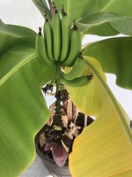 The Banana Tree Story Continues